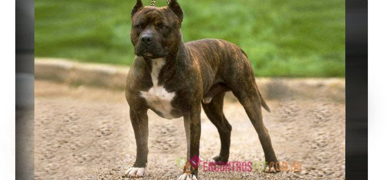 american-staffordshire-terrier01
