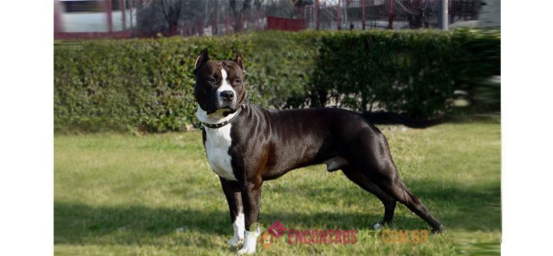 american-staffordshire-terrier02