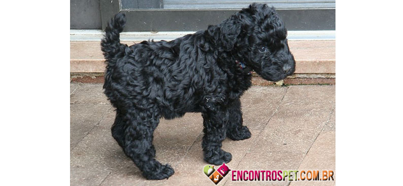 Kerry-Blue-Terrier-01