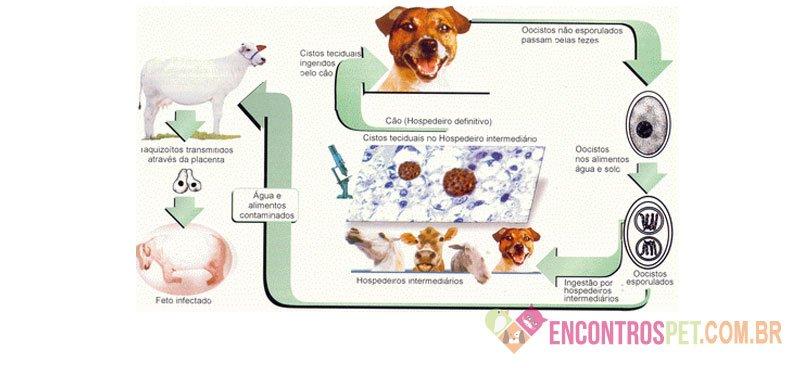 Toxoplasmose Canina: Sintomas, Como Prevenir