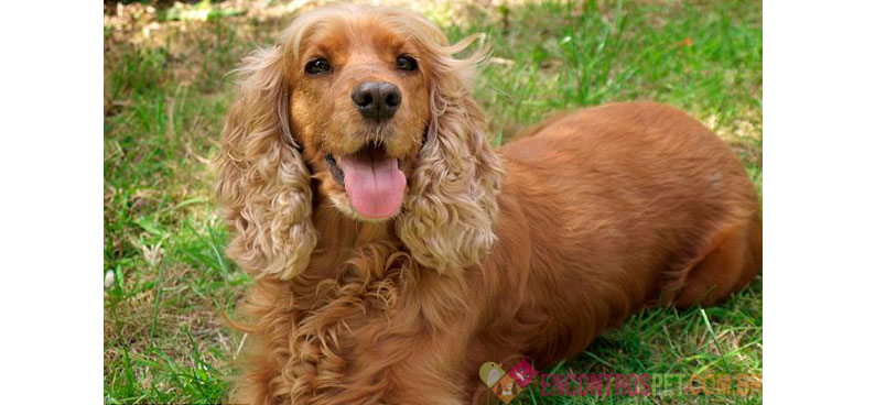 Cachorro Cocker Spaniel: Preço, Características