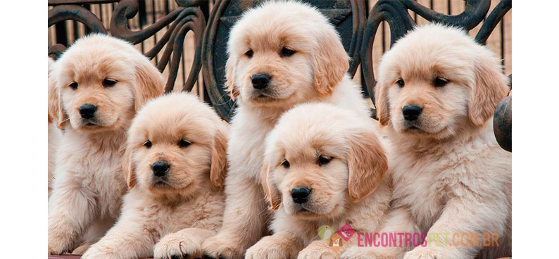 Guia-de-racas-Golden-Retriever