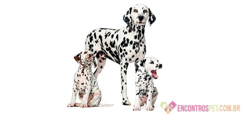Cachorro Dálmata: Características, Preço Filhote