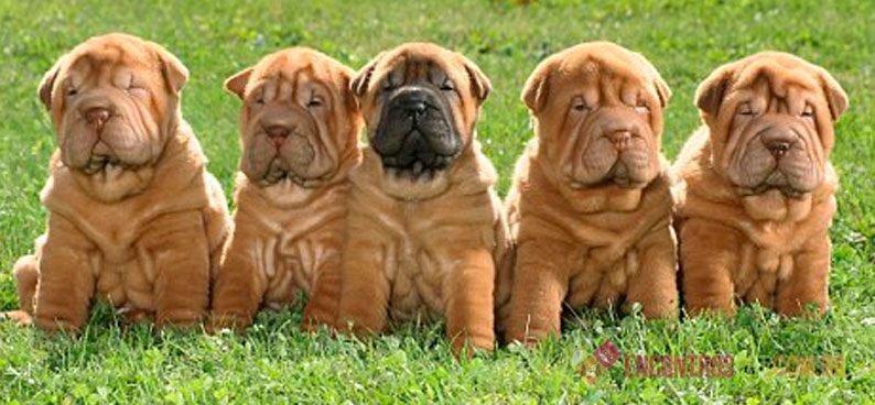 Cachorro Shar Pei Mini: Características, Preço