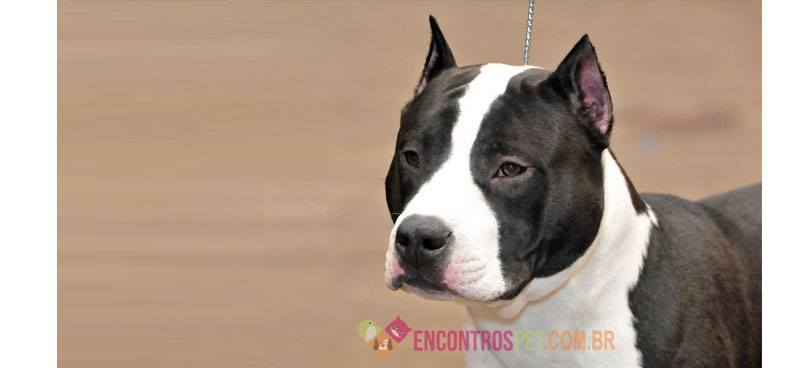 Cachorro American Bully Pit Bull Terrier Encontros Pet