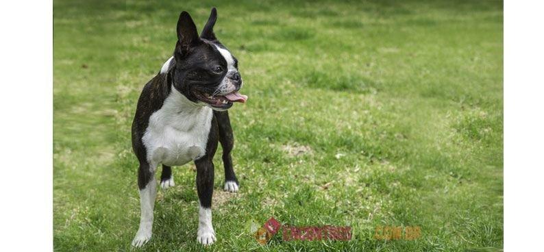 Boston-terrier05