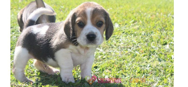 Cachorro Beagle: Pre&#...