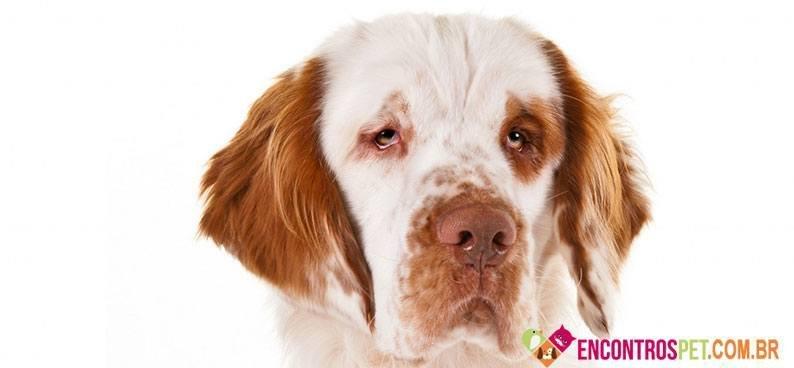 Cachorro Clumber Spaniel
