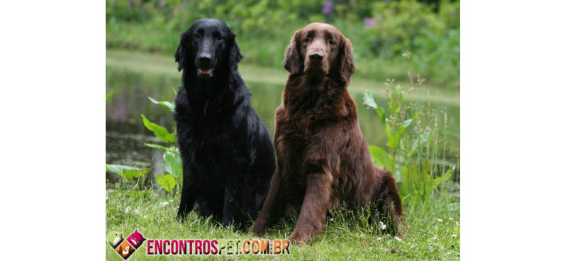 Flat-Coated-Retriever-02