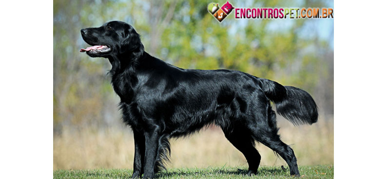 Flat-Coated-Retriever-03