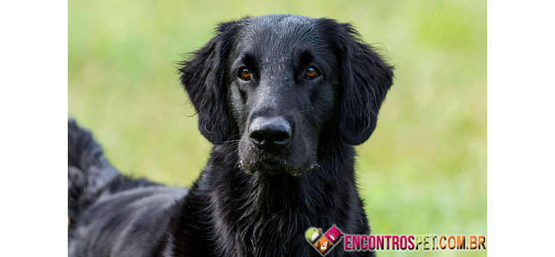 Flat-Coated-Retriever-04