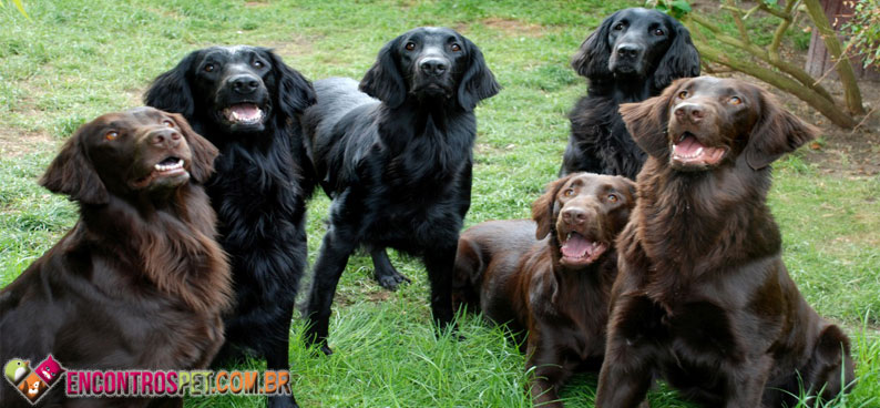 Flat-Coated-Retriever-06