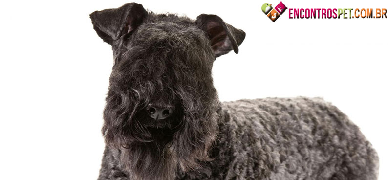 Kerry-Blue-Terrier-05