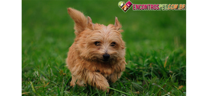 Norfolk-Terrier-01