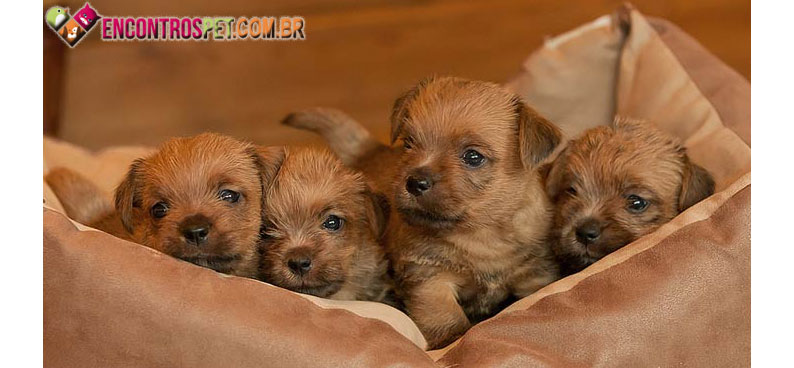 Norfolk-Terrier-02