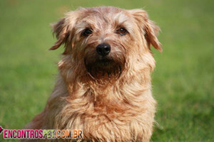 Norfolk-Terrier-03