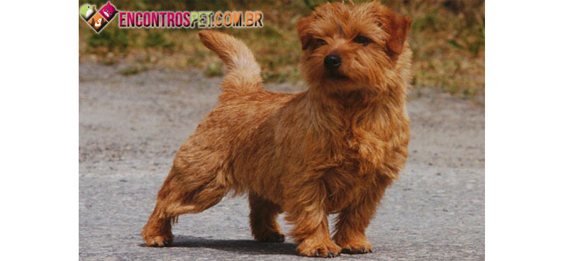 Norfolk-Terrier-04
