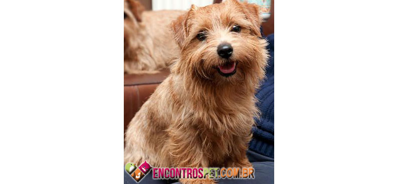 Norfolk-Terrier-05