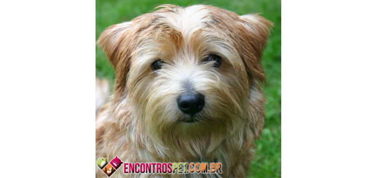 Norfolk-Terrier-07