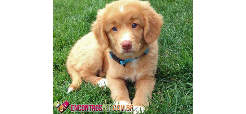 Nova-Scotia-Duck-Tolling-Retriever-02