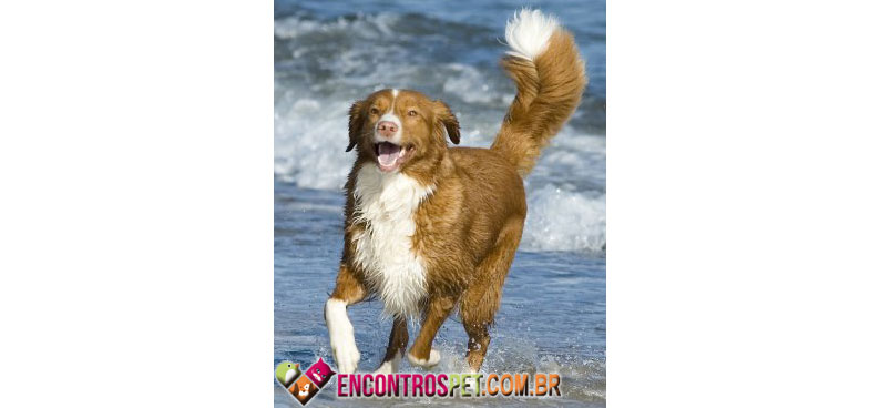Nova-Scotia-Duck-Tolling-Retriever-03