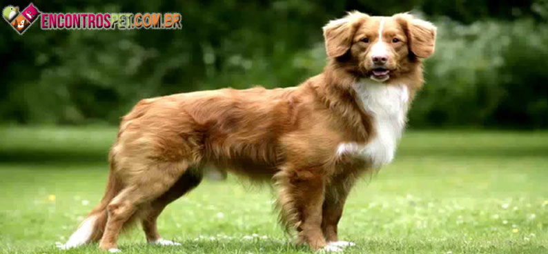 Nova-Scotia-Duck-Tolling-Retriever-04