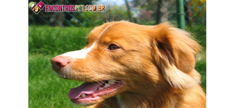 Nova-Scotia-Duck-Tolling-Retriever-05