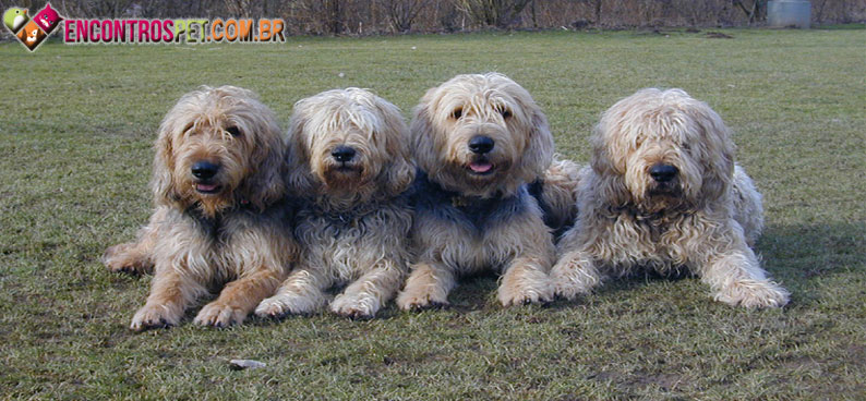 Otterhound-02