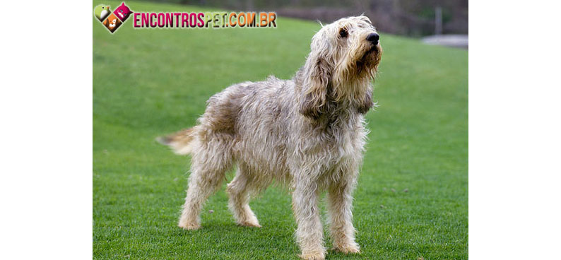 Otterhound-04