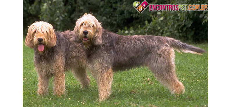Otterhound-05