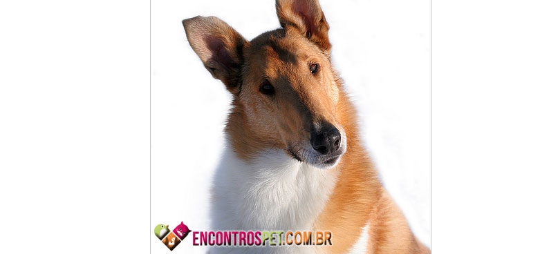 Smooth-Collie-04