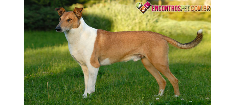 Smooth-Collie-05