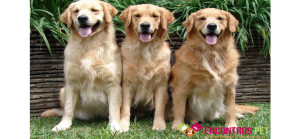 golden-retriever-vantagens