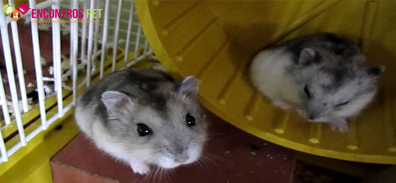 hamster-anao-russo-02