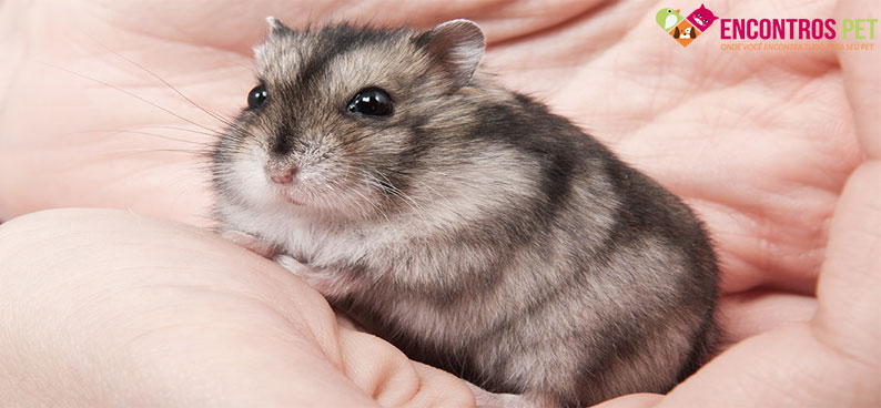hamster-anao-russo