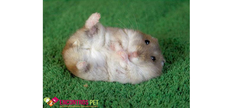 hamster-chines-01
