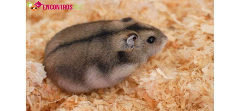 hamster-chines