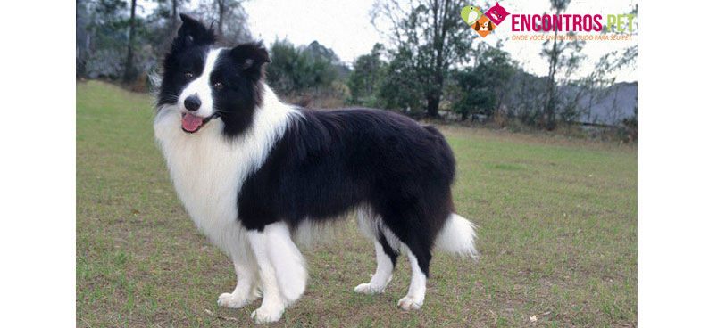 Show Me Pictures Of Collie Dogs