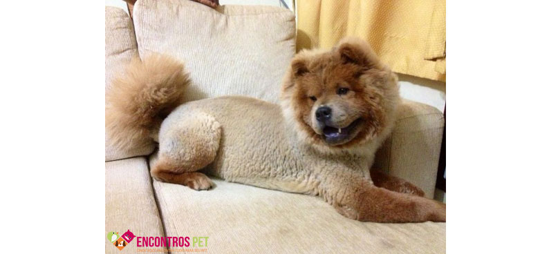 chow-chow-tosados-01