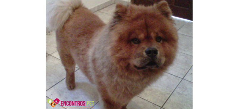 chow-chow-tosados-02