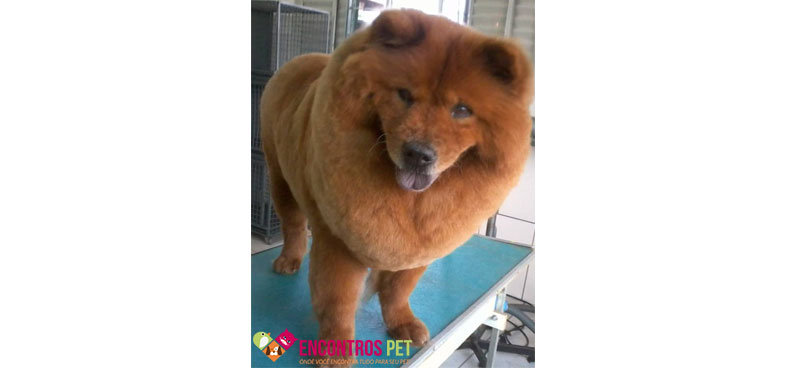 chow-chow-tosados-03