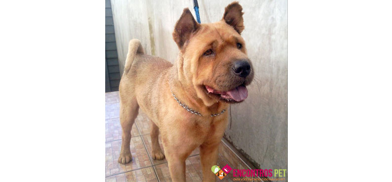 chow-chow-tosados-04
