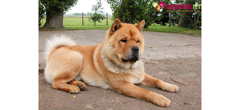 chow-chow-tosados