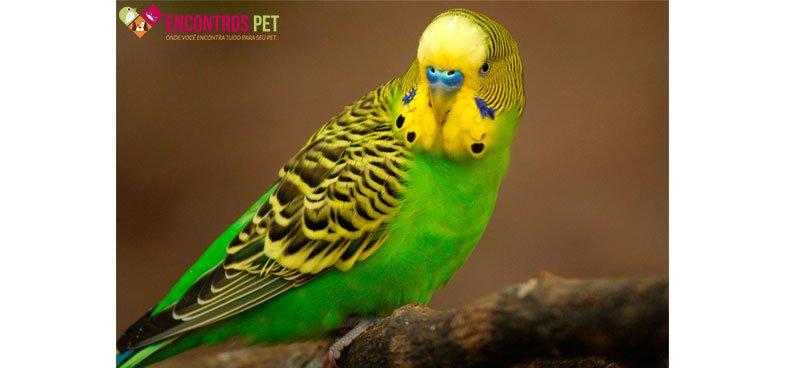 periquito-australiano-preco