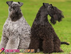Cachorro Kerry Blue Terrier