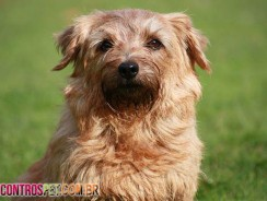 Cachorro Norfolk Terrier