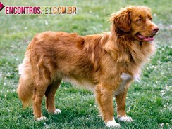 Cachorro Nova Scotia Duck Tolling Retriever